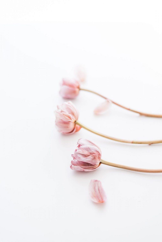 spring mauve tulip stock images